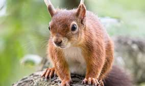 A close up of a red squirrel