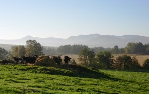 Balnaan cows