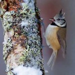 Crested tit in birch forest in winter, Glenfeshie