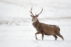 Red deer stag (Cervus elaphus) on open moorland in snow, Cairngorms National Park, Scotland, UK