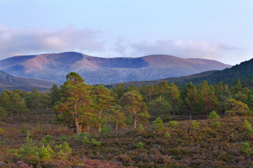 scots-pine-web