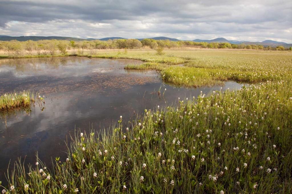 Bogbean / buckbean flowering in pool system
