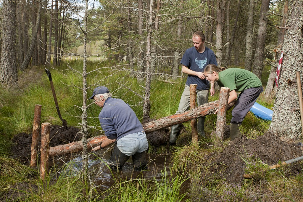 RSPB warden and volunteers building a dam from natural materials to create wet woodland, Abernethy Forest, Scotland, September (Model released)