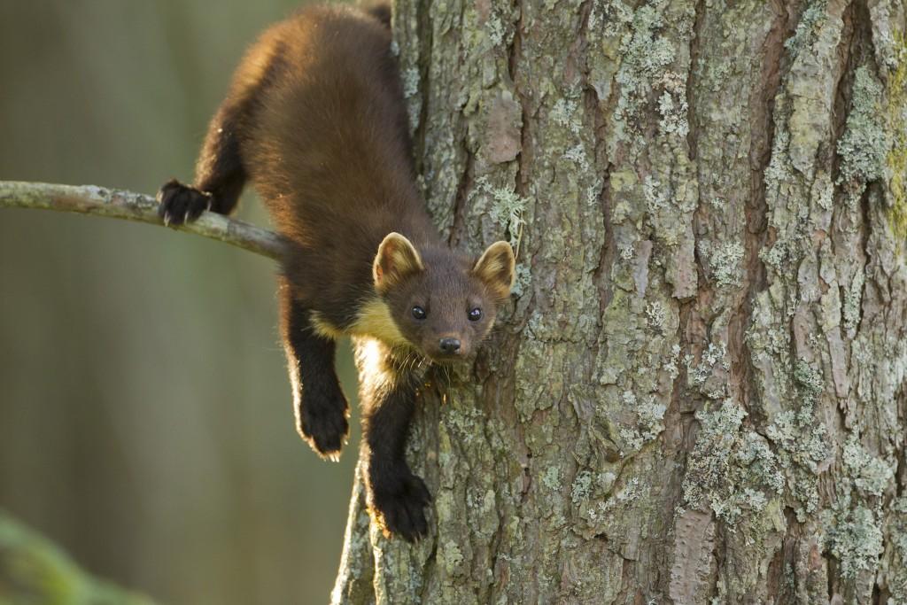 Pine marten (Martes martes) youngster