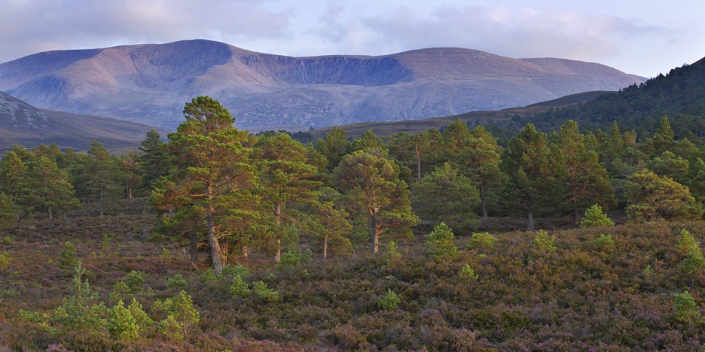 Scattered Scot's pines on heather moorland in late summer, Rothiemurchus, Cairngorms National Park, Scotland, UK