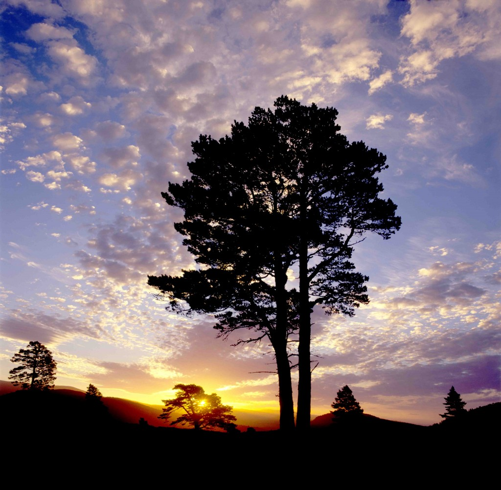 GPLM 1012 Sunset in the pine forest of Rothiemurchus