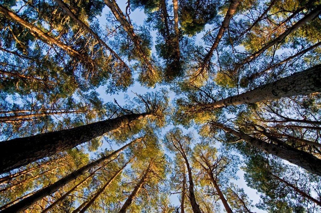 Pine Woodland RSPB Abernethy Forest