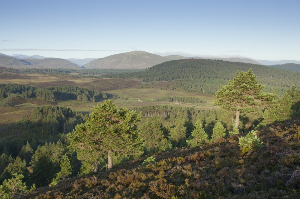 The Pine Forest of the Cairngorms