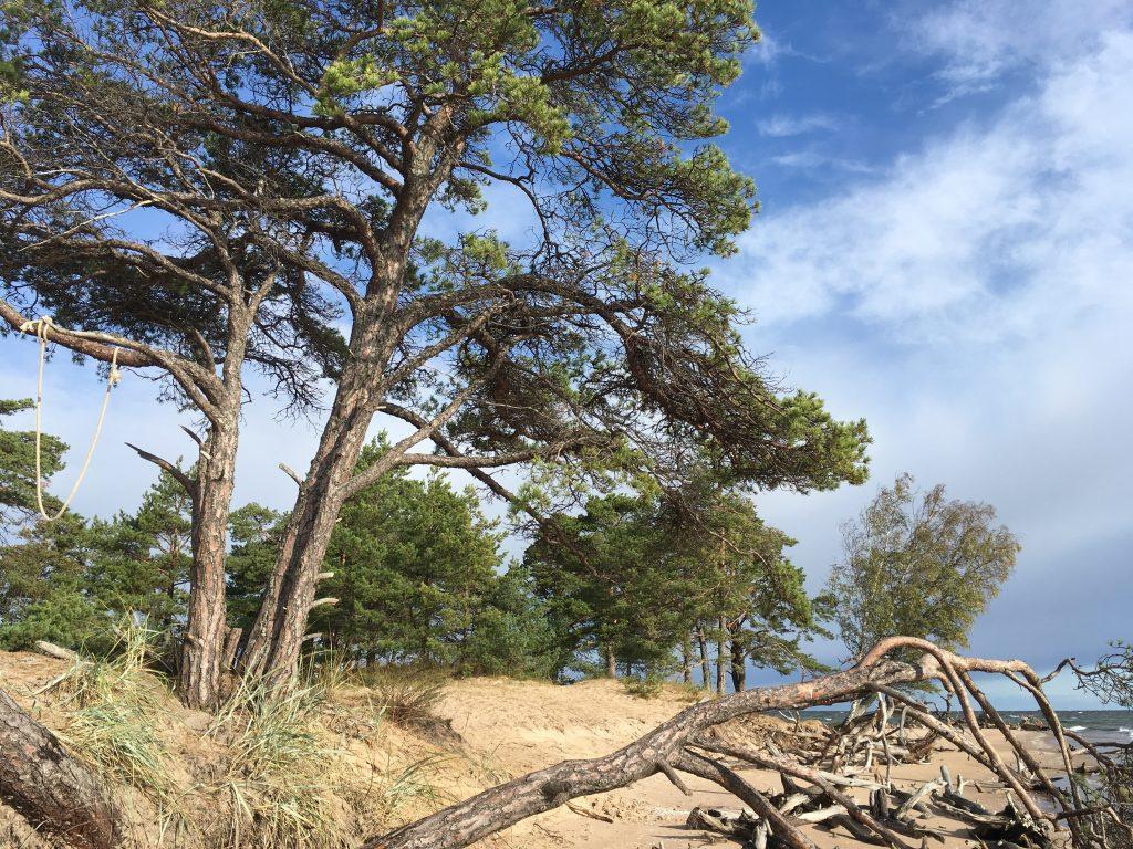 Scots Pine Latvia Heather Palomino