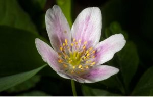 Wood anemoneare in flower now,whatcanyou find in your nearest green space?