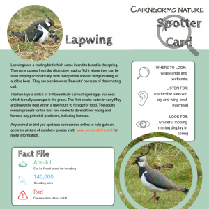 Wildlife Spotter Lapwing