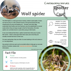 Spotter Card Wolf Spider